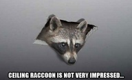 ceiling_raccoon